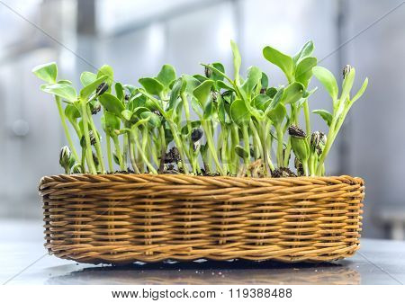 Implant Sunflower Sprouts In A Rattan Textile