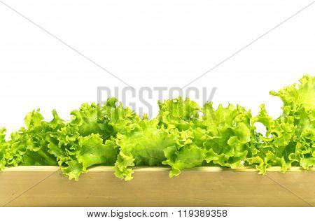 Grow Hydroponic Lettuce, Using Bamboo Tree Instead Of Plastic Tube