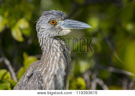 Yellow-crowned Night Heron Profile Close-up
