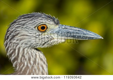Yellow-crowned Night Heron Profiel Close-up