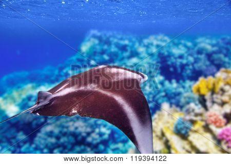 Manta Ray In Indian Ocean - Maldives, Near Thoddoo Island.