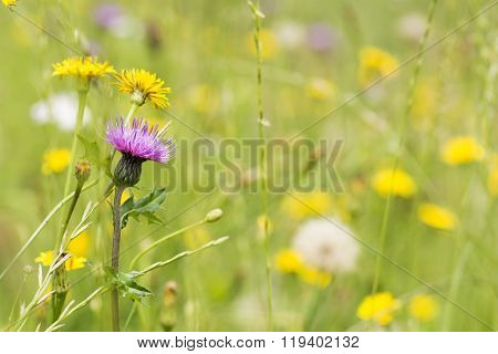 Thistle and catsear flower