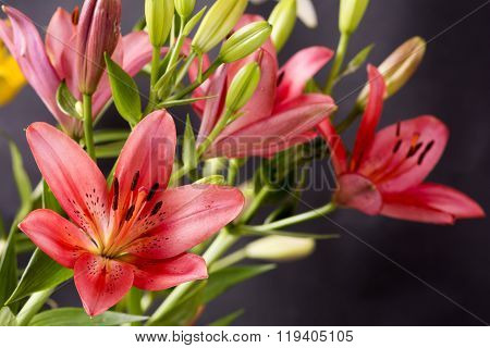 Red asian lily