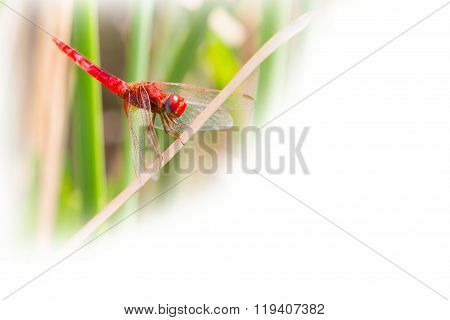 environment background with Red dragonfly looking at the camera and copyspace
