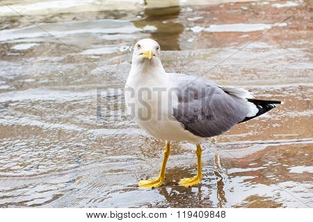 Curious Albatross standing in water,staring and waiting for food