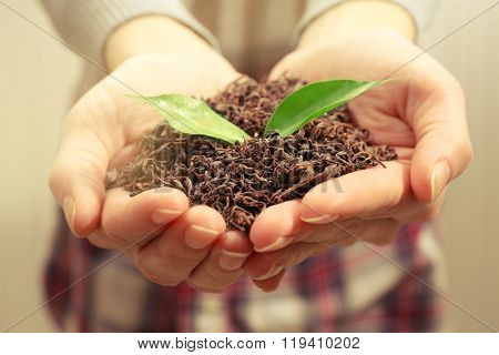 Human hands with dry tea and green leaves, closeup
