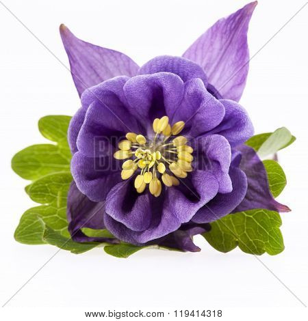 Single Violet  Flower Of Aquilegia Vulgaris Isolated On White Background