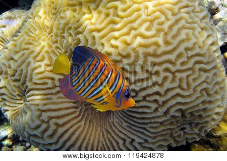 Clown Anemonefish (amphiprion Percula)
