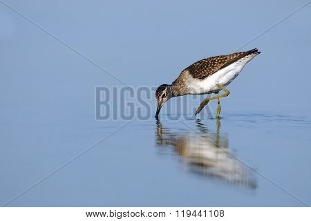 Wood Sandpiper (tringa Glareola) Feedingat The Shallow Water Of The Morning Blue Lake