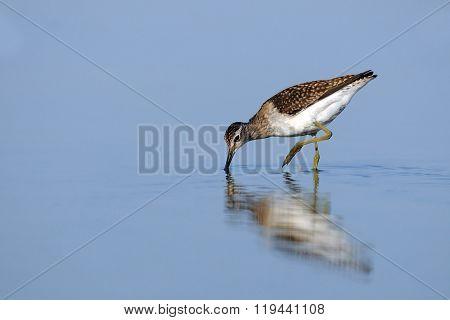 Wood Sandpiper (tringa Glareola) Feedingat The Shallow Water Of The Morning Blue Lake