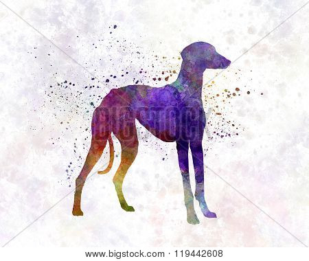 Arabian Greyhound In Watercolor