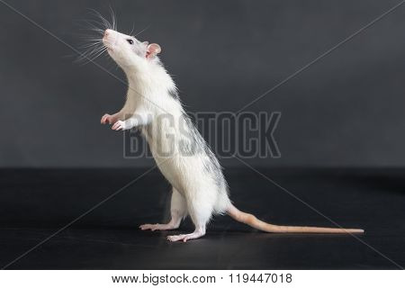 Standing Domestic Rat