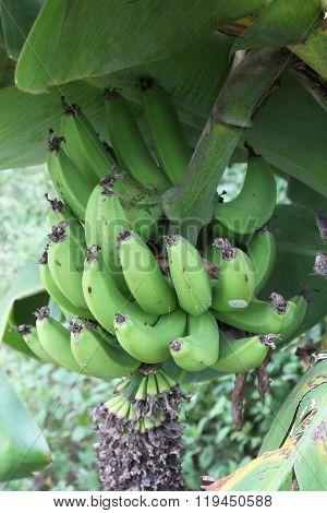 Unripe Bananas On The Tree