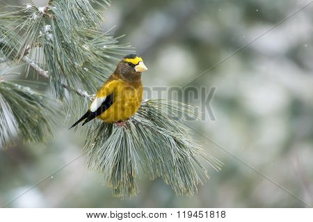 Evening Grosbeak, Coccothraustes Vespertinus