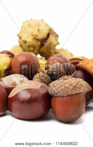 Horse Chestnuts And Acorns