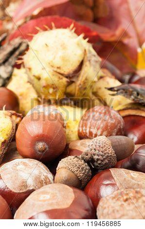 Beautiful Closeup Of Autumn Acorn And Horse Chestnuts