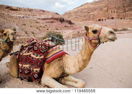 Camels In Petra, Jordan
