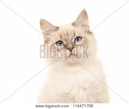 Adorable birman kitten cat