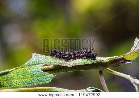 Common Jester Caterpillar