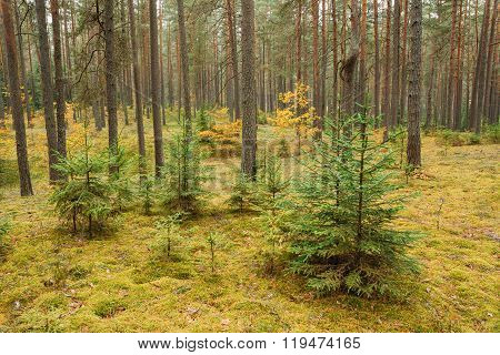 Pine trees in wild autumn coniferous forest reserve park. Nature