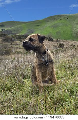 Border Terrier sitting in meadow