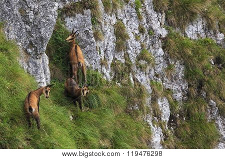 Chamois in natural habitat
