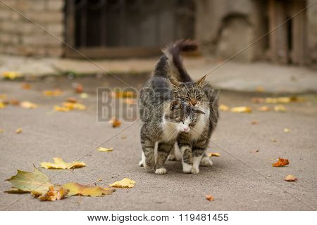Walking Couple Of Two Loving Cats