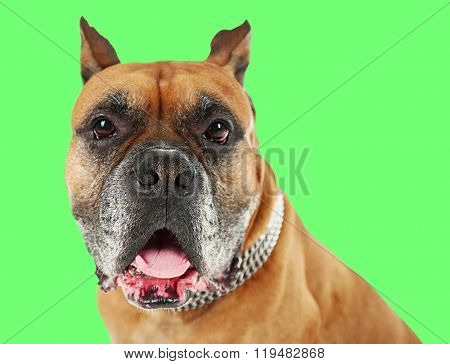 Boxer dog on green background
