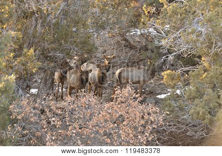 Curious Elk Calves
