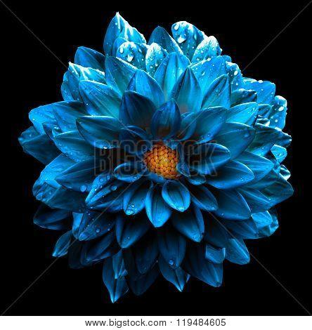 Surreal Wet Dark Chrome Sea Blue Flower Dahlia Macro Isolated On Black