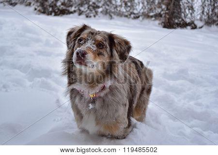 Australian Shepherd Dog in the Snow