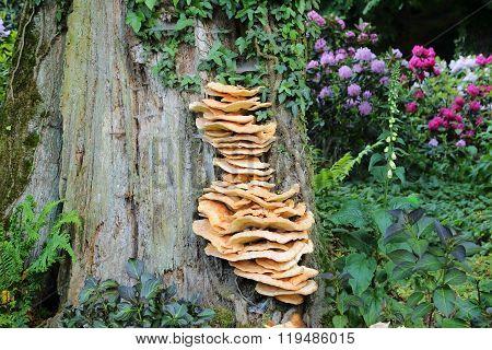 Laetiporus sulphureus bracket fungus on oak tree.