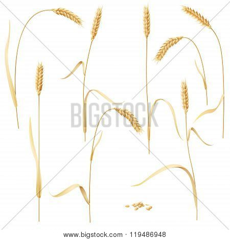 Wheat Ears Set On White