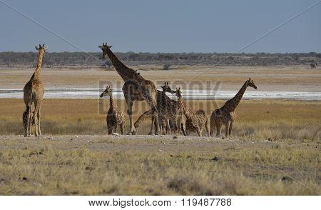 Giraffe in der Savanne vom Etosha Nationalpark