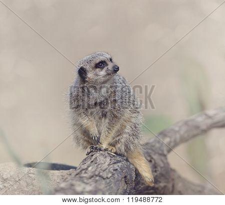 Meerkat Sitting on a Branch