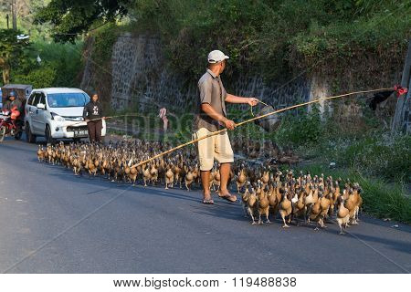 Bali, Indonesia - Circa September 2015: Duck Herding In Rural Area Of  Bali