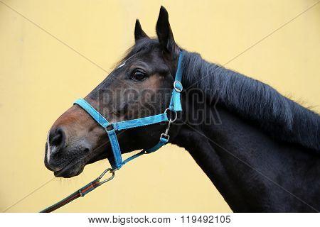 Head Shot Of A Show Jumper Horse