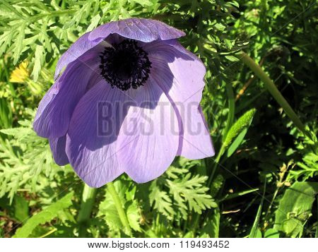 Ramat Gan Park The Purple Crown Anemone Flower 2007