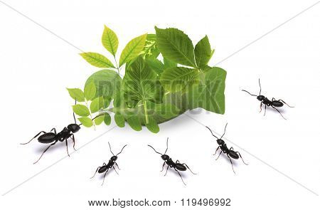 Small ants and green leaves, isolated on white.