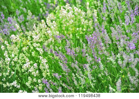 Lavender At Meadow