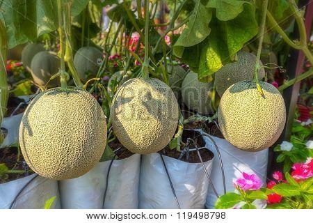 Melon in the garden