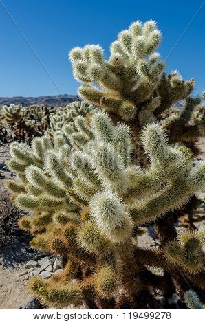 Cholla Cactus Medium Shot On Blue Sky