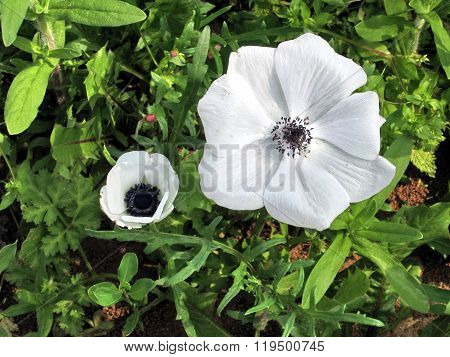 Ramat Gan Park White Crown Anemone 2008