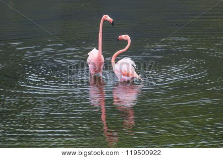 Two Greater Flamingos standing in the water