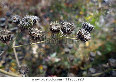 Velvetleaf Seedpods