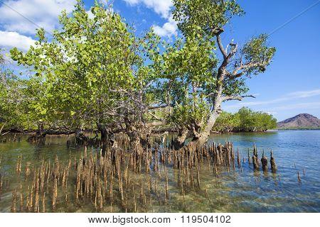 Mangrove Trees