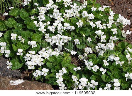 White Viola Flowers