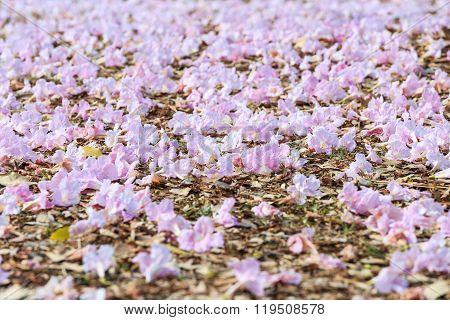 Faded Pink Trumpet Flower Or Tatebuia Rosea