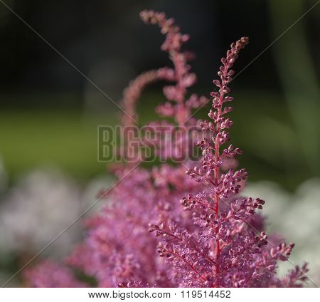 Closeup, macro on a pink and a flower, cluster in a garden.