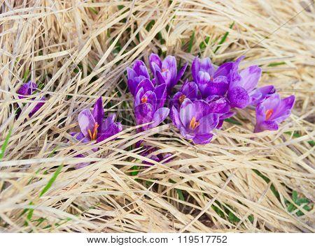 Several Crocus Vernus Against The Backdrop Of Dry Grass